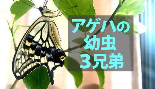 【コラム】アゲハの幼虫3兄弟。すったもんだの末、羽化。