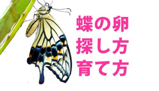 【蝶の卵の育て方・卵の探し方】子どもと一緒に蝶を卵から育ててみませんか?
