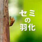 【コラム】セミの羽化