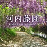 福岡の藤の名所「河内藤園」2021年の見頃は?料金やチケット購入方法